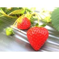 曲靖酸甜新鲜草莓批发
